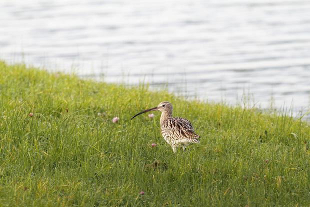 Großer Brachvogel (Numenius arquata) im Naturschutzgebiet Wagejot auf der Nordseeinsel Texel, Holland