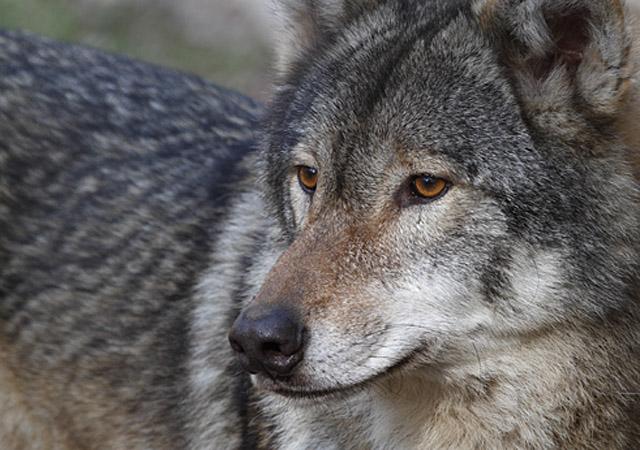 Detailaufnahme eines Wolf