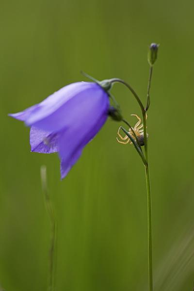 Glockenblume (Campanula) und Krabbenspinne (Thomisidae), Eyachtal, Baden-Württemberg, Deutschland