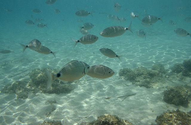 Unterwasseraufnahme eines Fischschwarmes im Meer bei Son Xoriguer, Menorca, Spanien