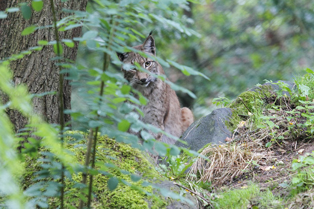 Eurasischer Luchs oder Nordluchs lat. Lynx lynx, Hessen, Deutschland