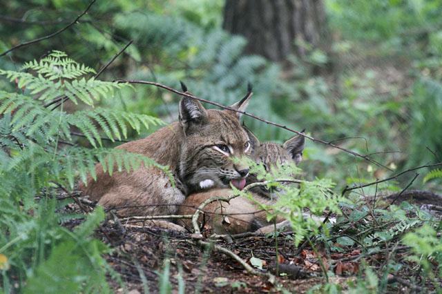 Eurasischer Luchs oder Nordluchs lat. Lynx lynx bei der Fellpflege mit Jungtier, Hessen, Deutschland