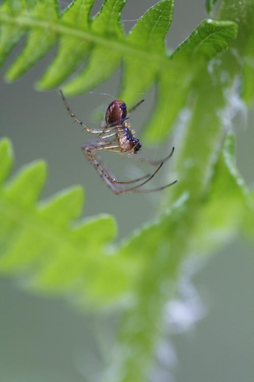 Spinne in Farn, Taunus, Hessen, Deutschland