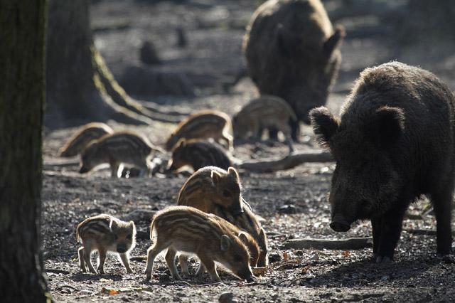 Wildschweine (lat. Sus scrofa) mit Frischlingen im Morgenlicht, Hessen, Deutschland